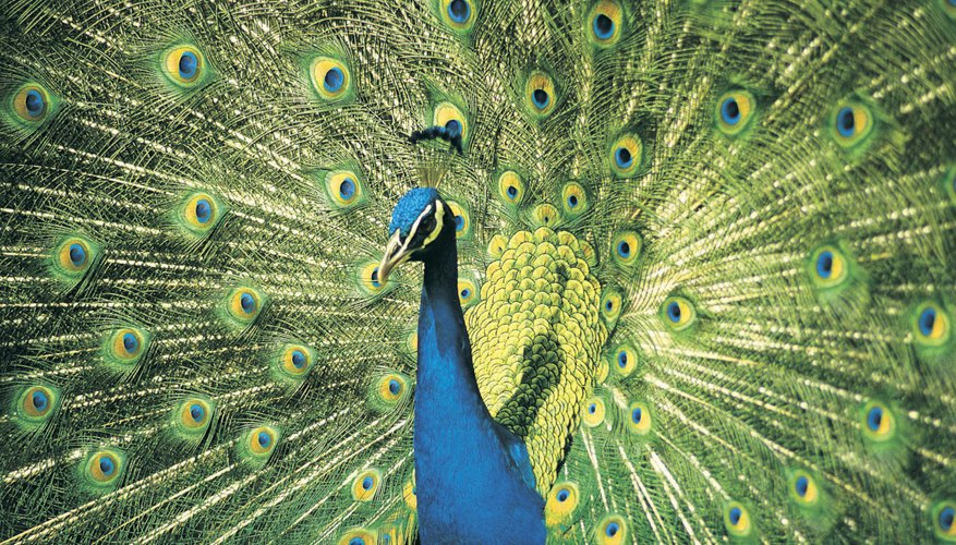 The peacock has one of the most elaborate feather displays of all birds
