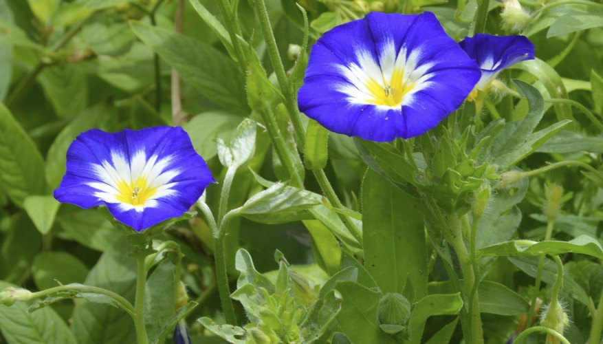 The seeds of the Morning glory plant contain hallucinogens.