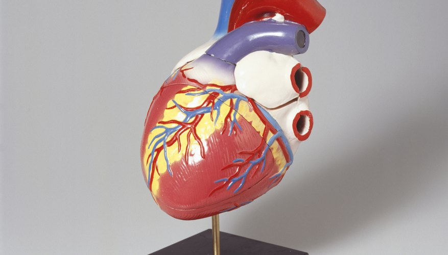 Medical model of human heart.
