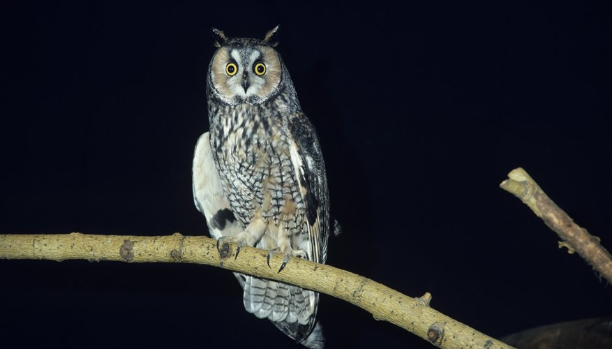The long-eared owl makes its home in nests abandoned by squirrels or other birds.
