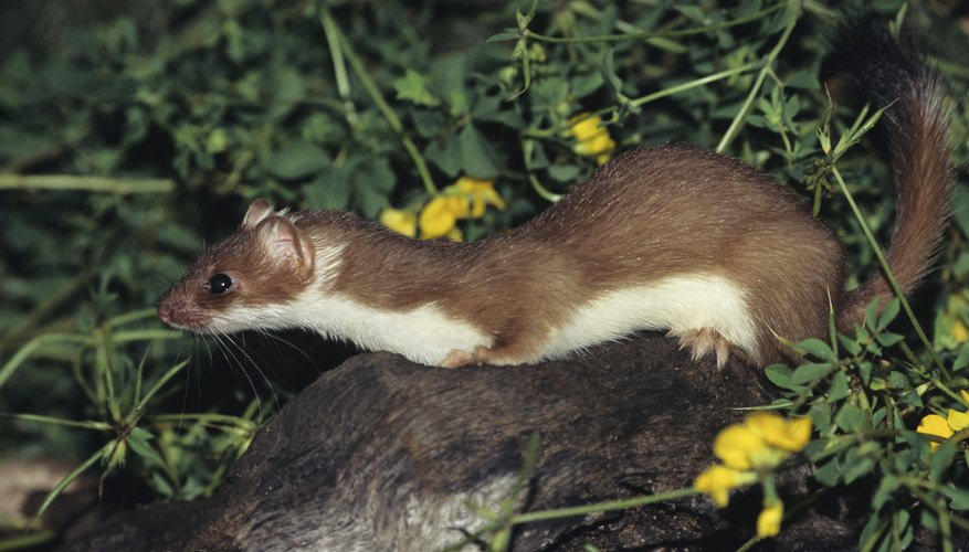 Weasels are skilled and constant hunters, always on the lookout for prey.