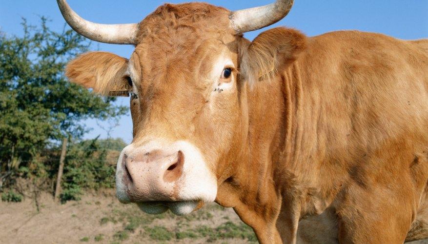 Los cuernos de vaca han sido pulidos y decorados tanto por la clase alta como por la baja, al menos durante diez siglos.
