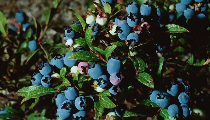 Cuttings from full-grown blueberry bushes will grow into new, healthy plants.