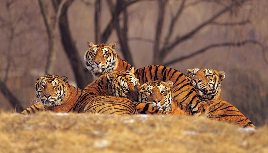 Grupo de tigres.