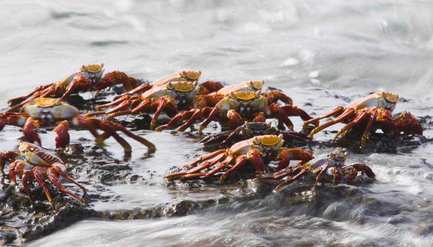 Water crabs can live deep in the ocean.