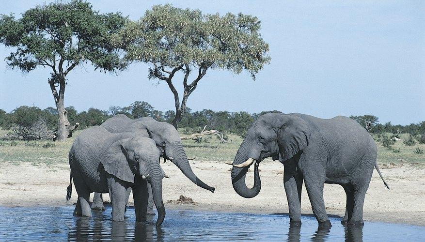 Elephants can use their tusks as