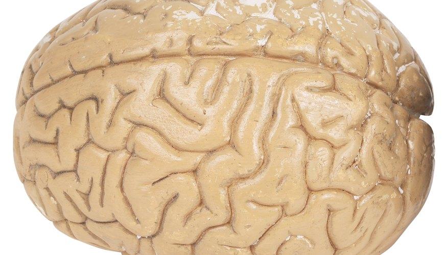 Haz un modelo de cerebro en arcilla.