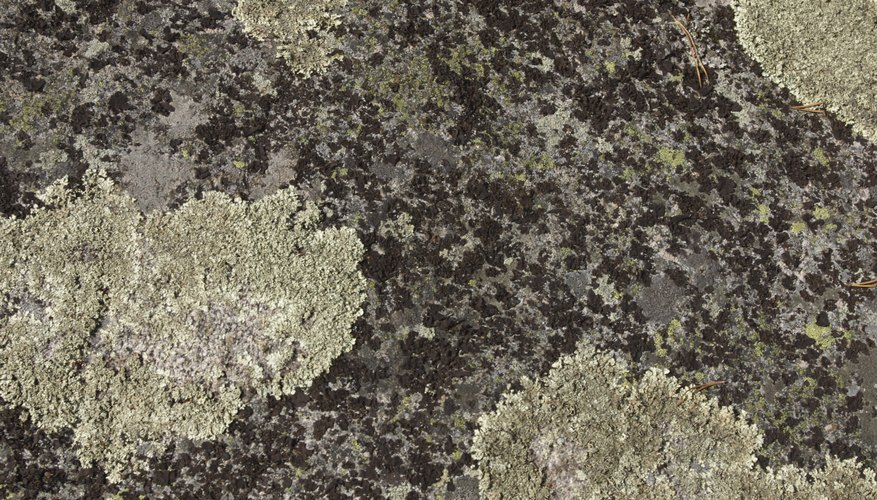 Lichen represent a symbiotic association between algae and fungi.