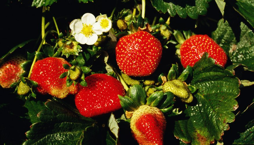 Allstar strawberries are plump and sweet.