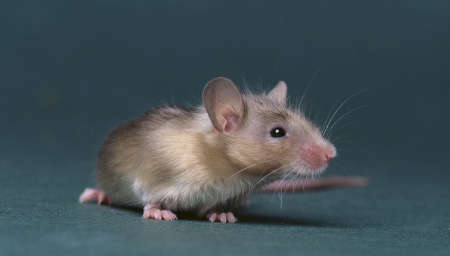 Rodents are an example of an ecosystem's consumers.