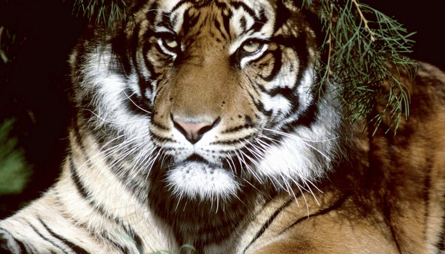 El tigre de Bengala está en la lista de las especies en peligro.