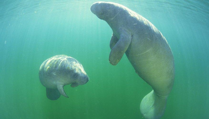 Una pareja de manatíes nadan bajo el agua.