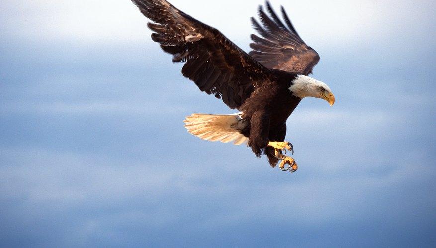 Rara vez veas un águila cazando por la noche, porque las águilas no tienen buena visión nocturna.