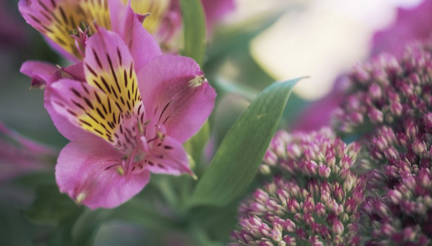 Alstroemeria plant in full bloom