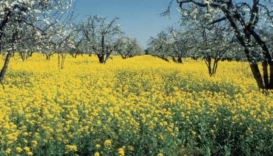 Las semillas de mostaza negra son la fuente de la mostaza comercial.