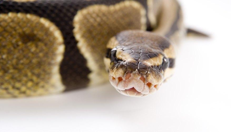 La serpiente conocida como pitón real (Python regius) es una especie pequeña.