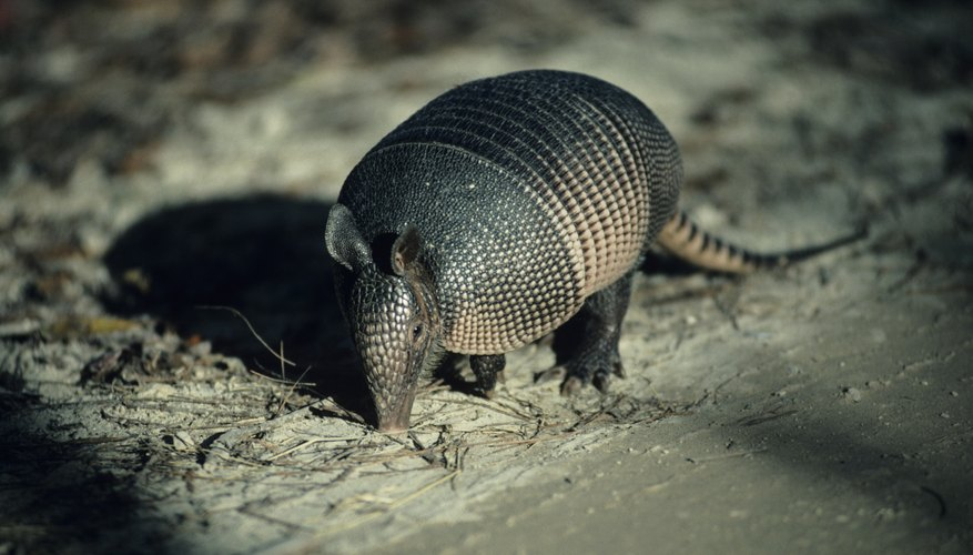 Armadillos sniff out grubs and worms in soil and dig them up.