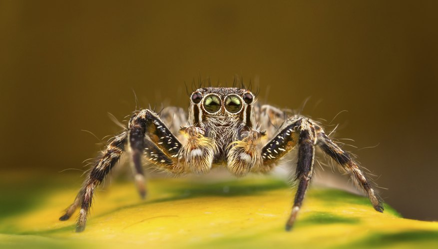 A jumping spider.