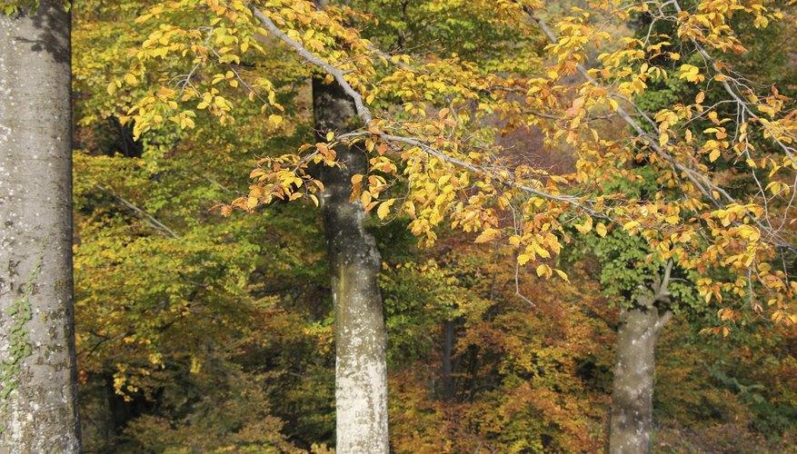 beech-maple trees