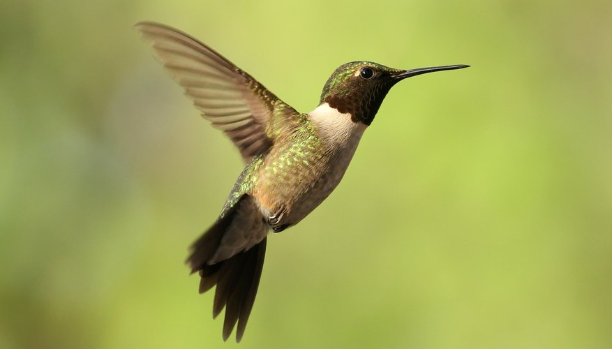Hummingbirds will migrate south during the winter.
