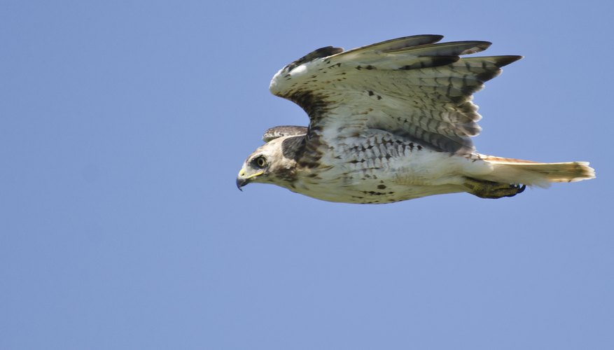 Visual clues distinguish hawks from other soaring birds.