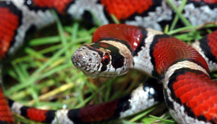 Milk snakes are solitary.