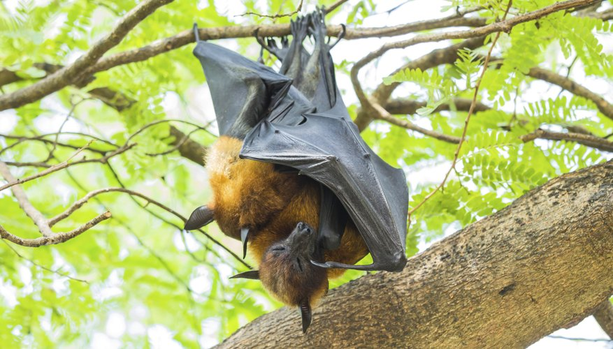Fruit bats hanging upside-down in tree.