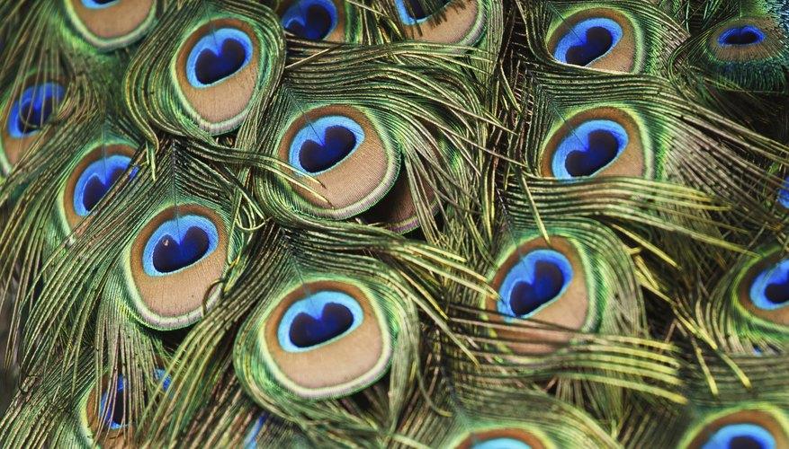 El hermoso plumaje del pavo real.
