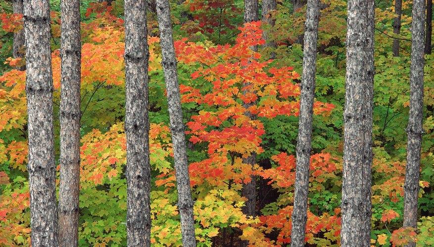 Los árboles en un bosque de caducifolios tienen hojas que cambian de color en el otoño.