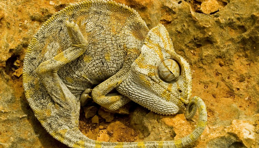 The Adaptations of Chameleons | Sciencing