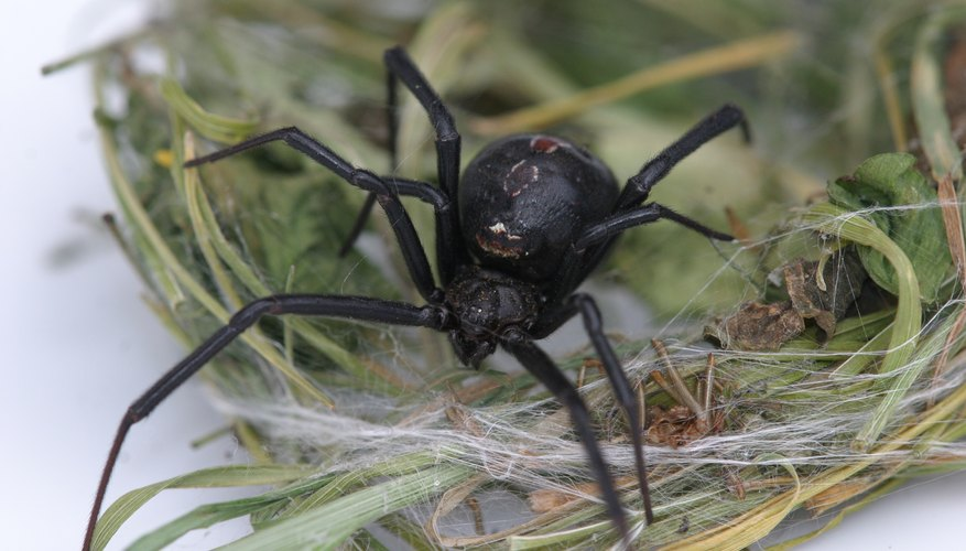 Black widow spiders prefer to live in undisturbed places.