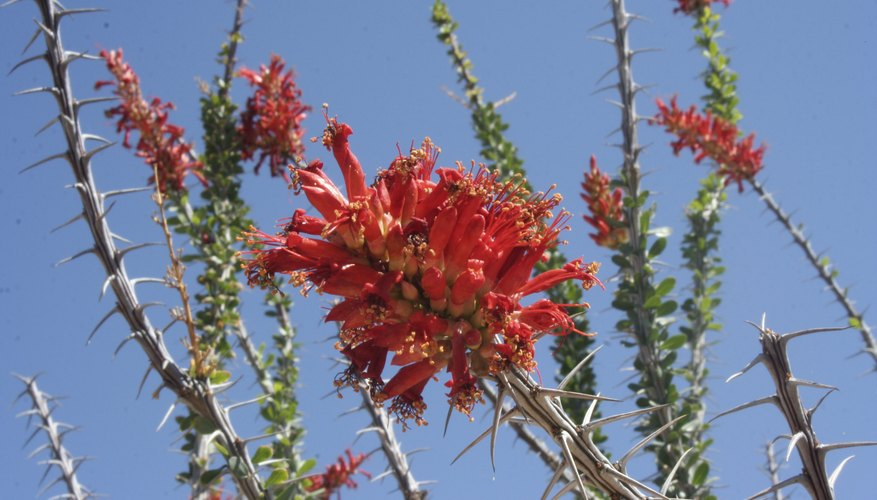 Ocotillo flowers attract hummingbirds and nectar-feeders such as orioles.
