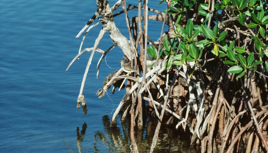 Decomposers release nutrients crucial to maintaining mangrove productivity.