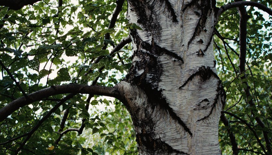 American beech trees are recognized by their gray bark.