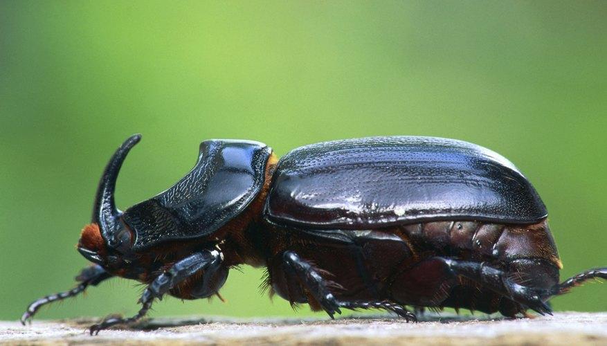 El escarabajo rinoceronte es un insecto muy complejo.