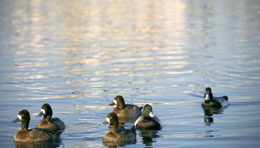 Los patos tienen diversas formas de comunicación.