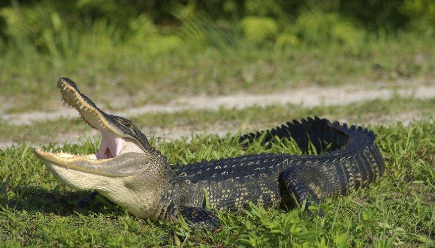 yawning alligator