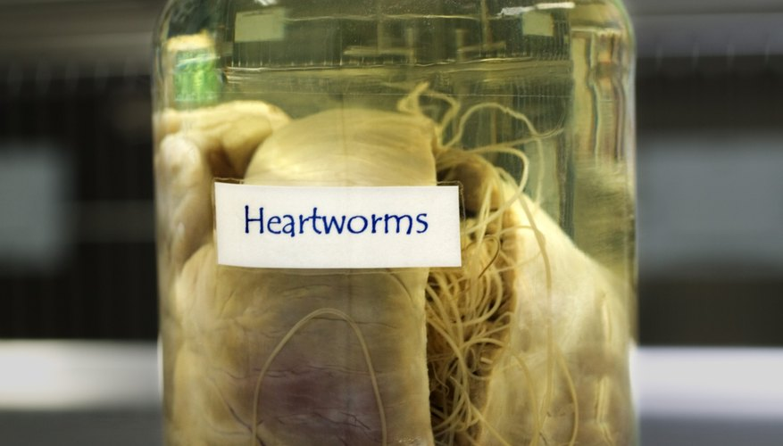 Heartworms are parasites that live inside their hosts.