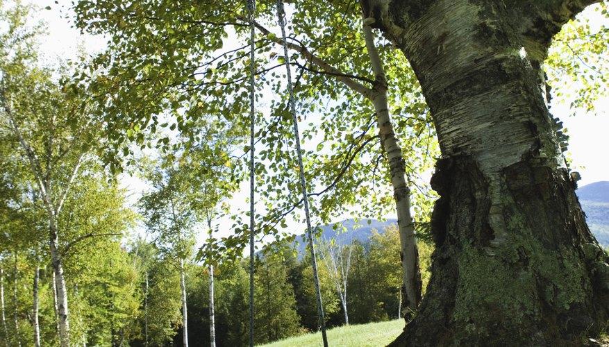 Perfora agujeros en los troncos de árboles para una mejor penetración de los herbicidas.