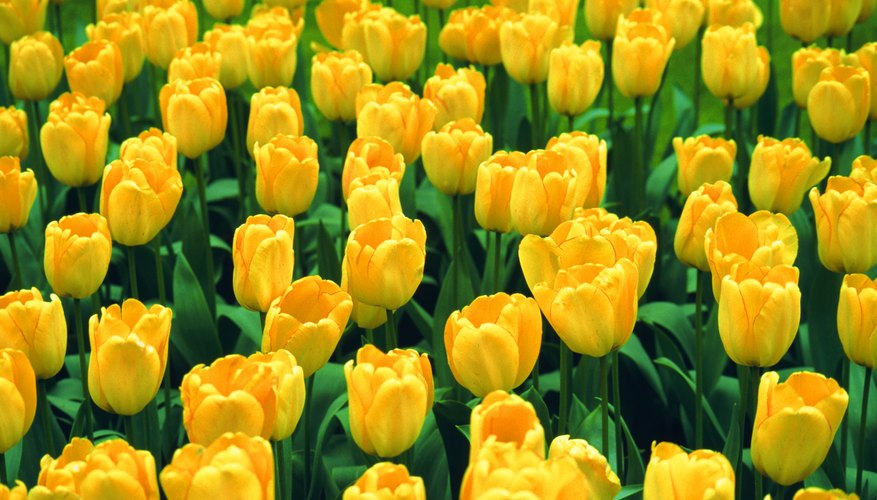 Tulips are a tangible symbol of the joy at Christ's resurrection.