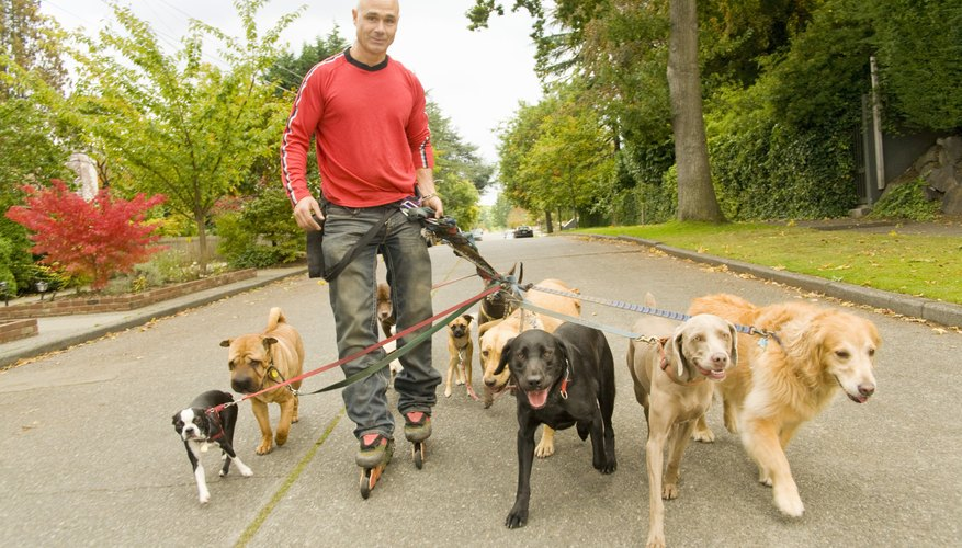 A professional walking dogs