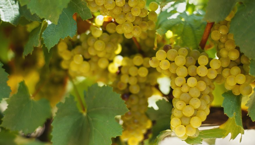 Close-up of grapevine leaves and vineyard grapes.