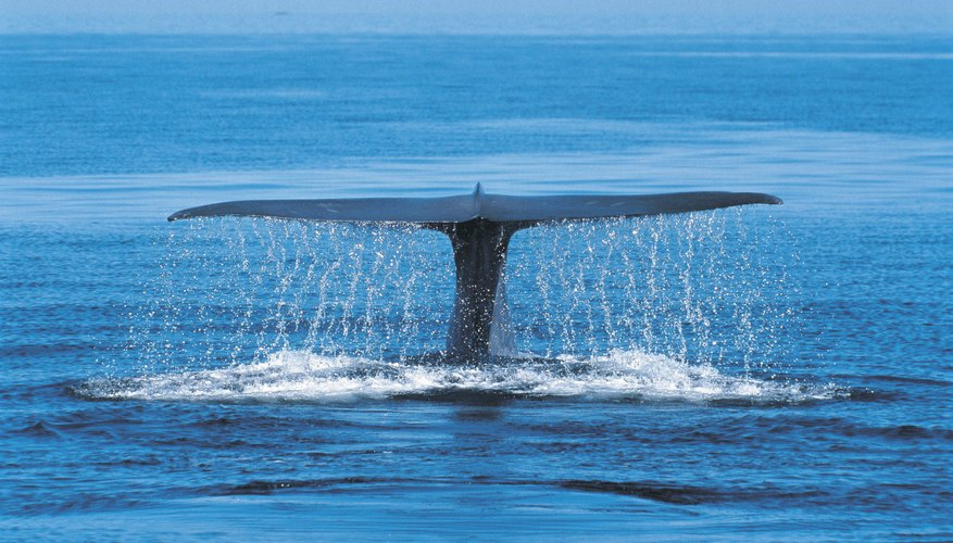 Blue whale off the coast of Mexico