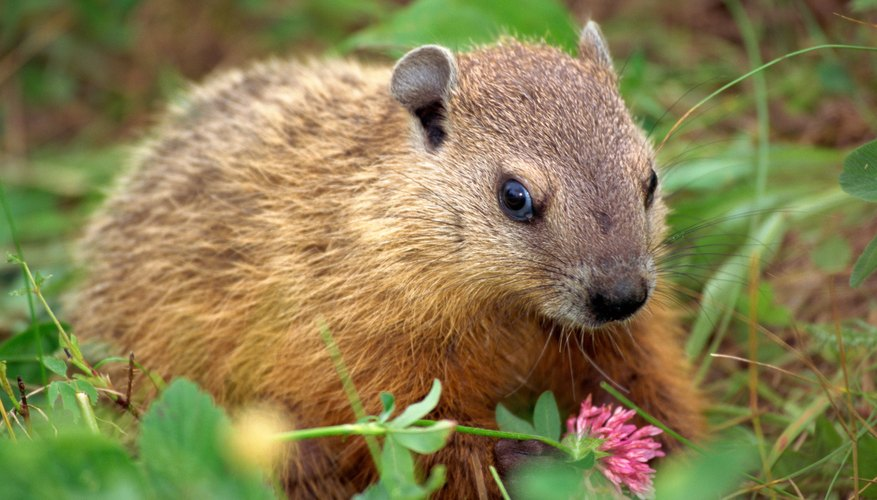 woodchuck in plant bed