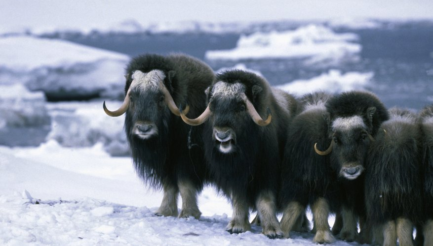 Musk oxen have long hair as well as woolly undercoats that provide insulation from the tundra's frigid temperatures.