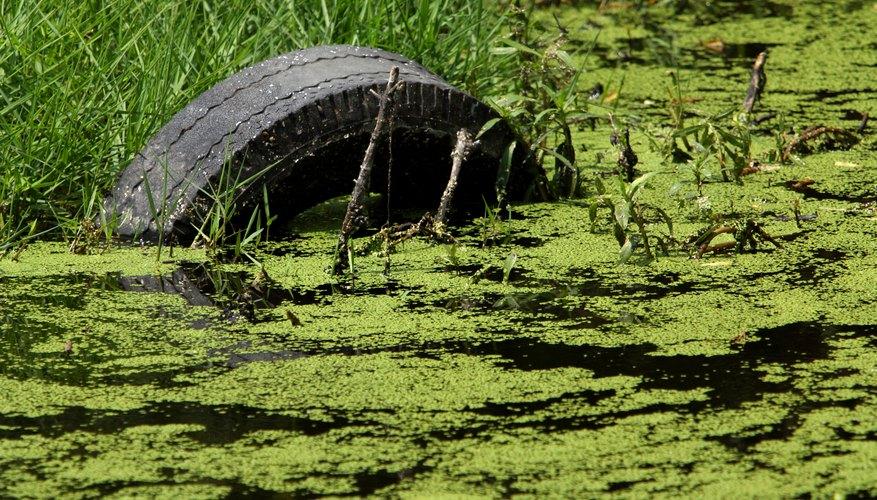 Existen plantas de algas verdes sobre o ligeramente sumergidas en el agua en estanques, lagos y en porciones fijas de los ríos.