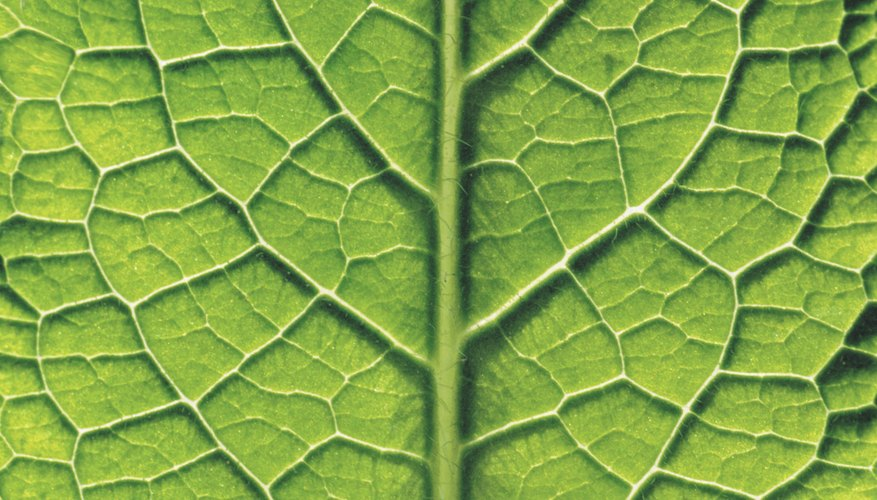 Leaves contain chloroplasts.