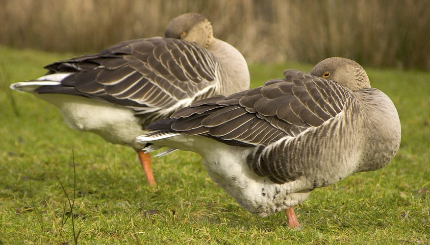 Two White-fronted geese sleep on the grass.