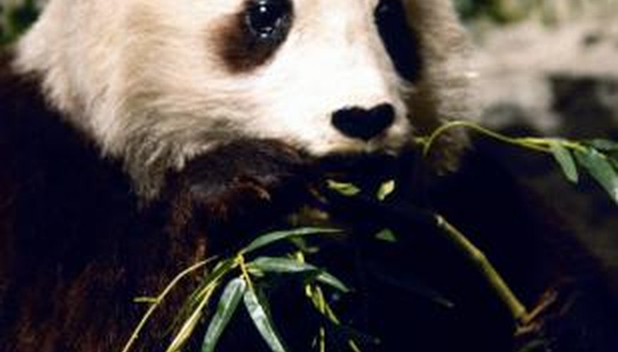 Pandas are endangered worldwide.