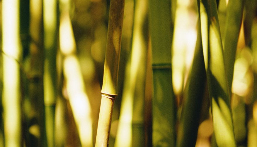 Bamboo plants can be insidious and persistent pests when allowed to grow unchecked.